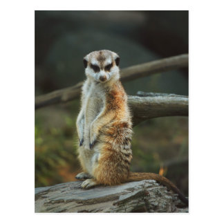 Meerkat Foto Postkarte
