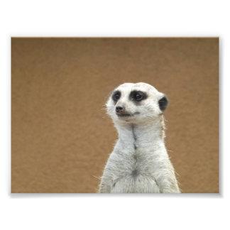 Meerkat Kunst Photo