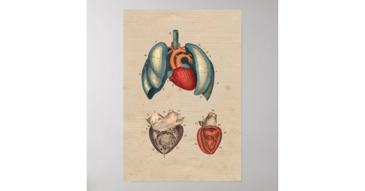 Groß Menschliche Anatomie Lunge Und Herz Bilder - Anatomie und ...