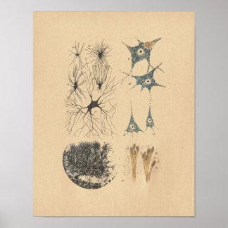 Menschliches Gehirn-Neuron-Anatomie-Vintager Druck Poster