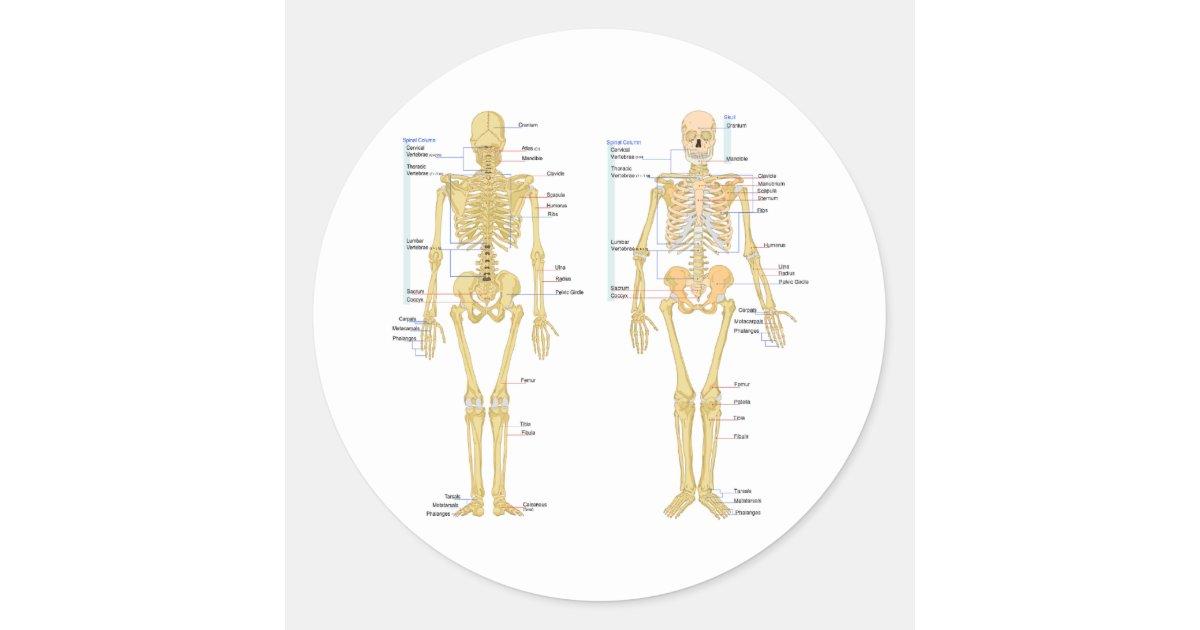 Tolle Menschliches Skelett Diagramm Beschriftet Galerie - Anatomie ...