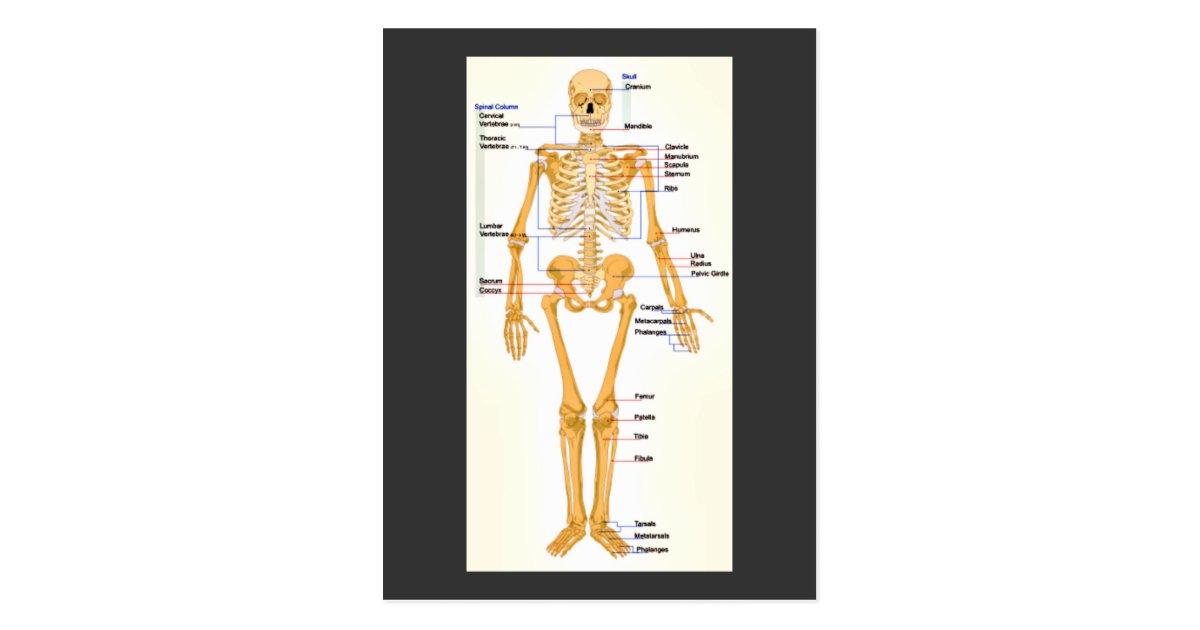 Beste Menschliches Skelett Diagramme Galerie - Anatomie Von ...