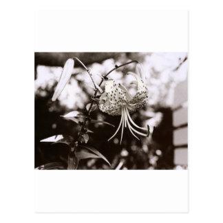 Michigan-Lilie, genommen auf Mackinac Insel, Postkarte