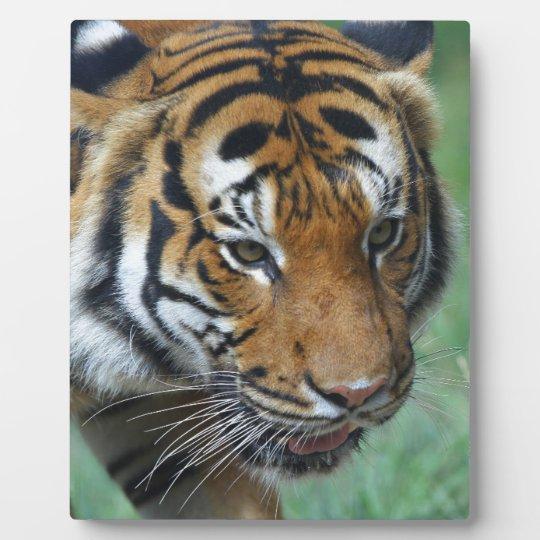 Mietmalaysische Tiger-Nahaufnahme Fotoplatte