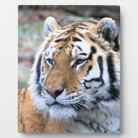 Mietstoic-königlicher bengalischer Tiger Fotoplatte