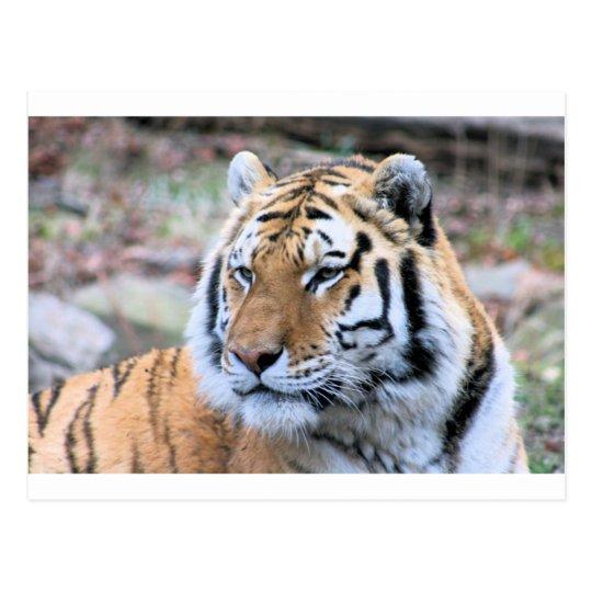 Mietstoic-königlicher bengalischer Tiger Postkarte