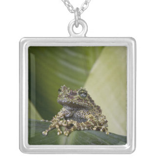 Moosiges Treefrog, Theloderma corticale, gebürtig Versilberte Kette