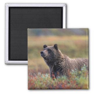 Na, Etats-Unis, Alaska, Denali NP, ours gris Magnet Carré