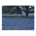 Na, Texas, Devine, chêne et capots bleus Cartes Postales