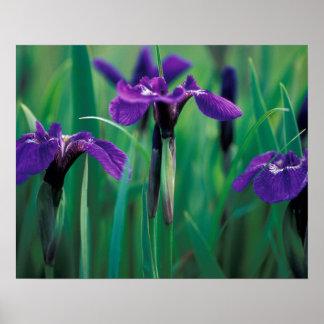 Na, USA, Alaska, Ritter-Insel, wilde Iris Poster
