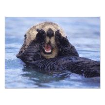 Na, USA, Alaska. Seeotter sind das größte Kunstfoto