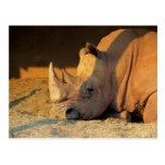 Nashorn im Sonnenuntergang Postkarten