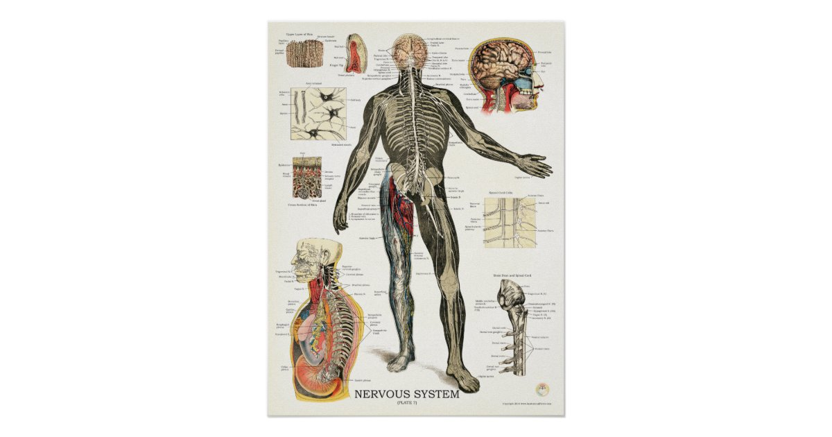 Großzügig Nervensystem Anatomie Fotos - Menschliche Anatomie Bilder ...
