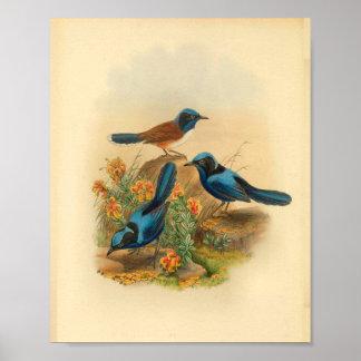 Neu-Guinea Todopsis Zaunkönig-blauer Poster