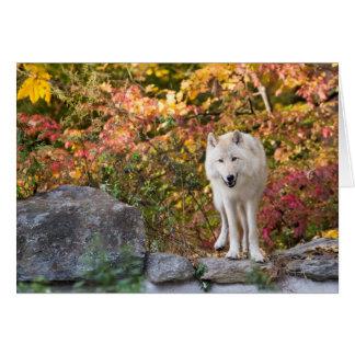 Neugieriger grauer Wolf Karte