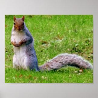 Neugieriges graues Eichhörnchen Poster