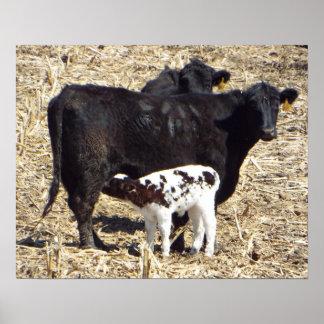 Niedliche Baby-Kalb-Krankenpflege auf Mutter Cow Poster