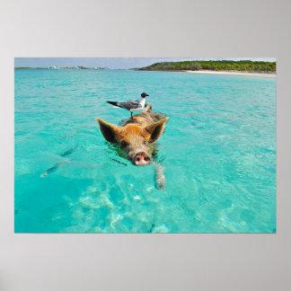 Niedliche Schweinschwimmen im Wasser Plakatdruck