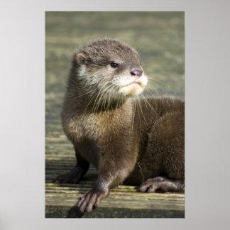 Niedlicher Baby-Otter Poster