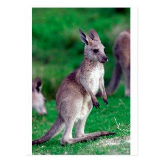 Niedlicher joey Baby Känguru Postkarte