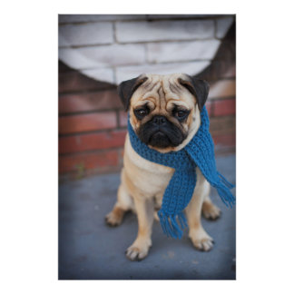 Niedliches Mops-Hundeporträt mit blauem Schal, Poster