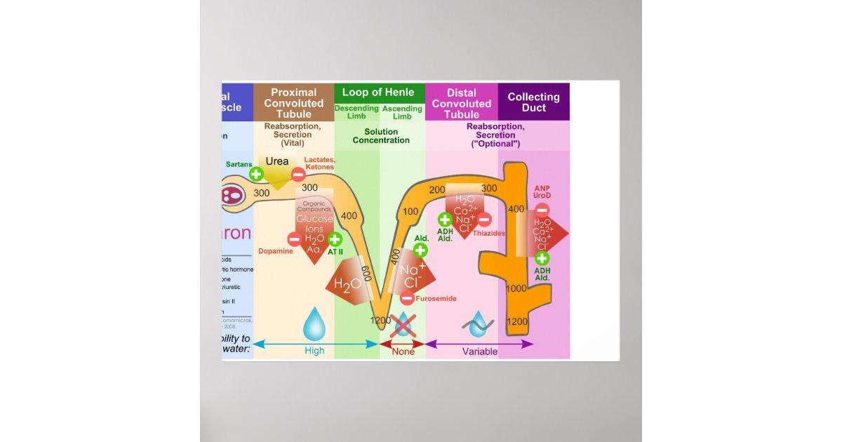 Fantastisch Funktionelle Mikroskopische Anatomie Des Nieren Und ...