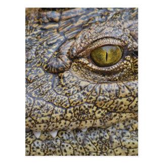 Nil-Krokodil von Afrika Postkarte