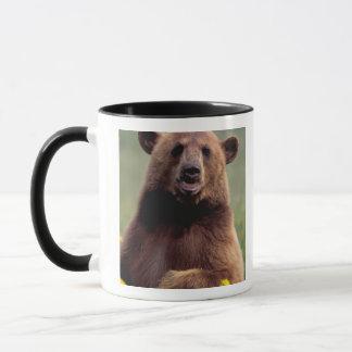 Nordamerika, Kalifornien, schwarzer Bär des Zimts Tasse