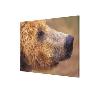 Nordamerika, USA, Alaska, Katmai NP. Brown Gespannter Galerie Druck