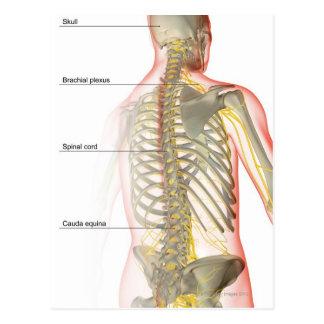 Oberer Körper-Nerven-Versorgung Postkarte