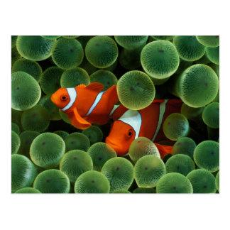 Ocellaris Clownfish Postkarte