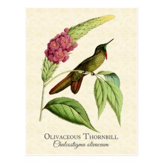 Olivaceous Thornbill Kolibri-Vintage Kunst Postkarte