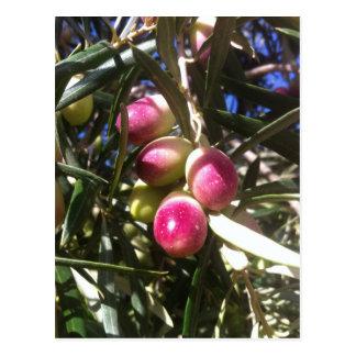 Olivenbaum in Spanien - Postkarte