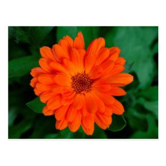 Orange Calendula-Ringelblumen-Entwurf Postkarte