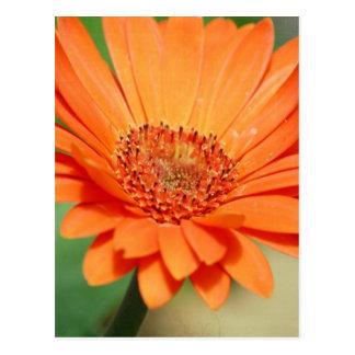 Orange Gerbera-Gänseblümchen Postkarte
