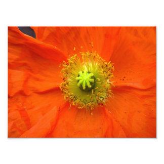 Orange Mohnblumen-Blumen-Fotodruck Photographie