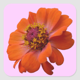 Orange Zinnia-Wildblume-Foto Quadratischer Aufkleber