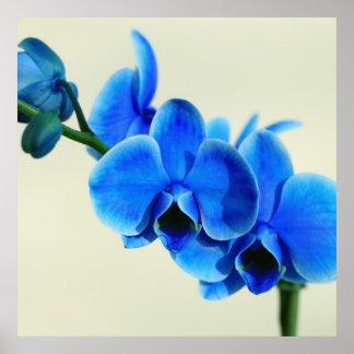 Orchidée bleue poster