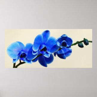 Orchidées bleues poster