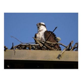 Osprey im Nest Postkarte