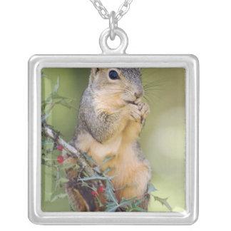 Ostfox-Eichhörnchen, Sciurus Niger, Erwachsener Versilberte Kette