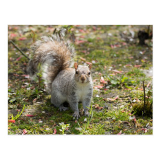 Ostgrau-Eichhörnchen Postkarte