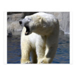 Ours blanc cartes postales