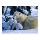 Ours blanc femelle se couchant avec 2 CUB Cartes Postales