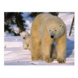Ours blanc femelle se tenant avec un petit animal  cartes postales