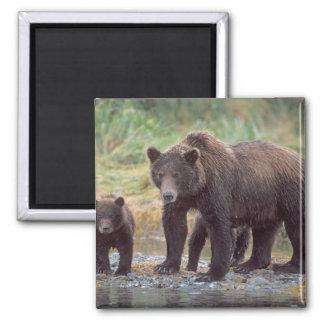 ours brun, arctos d'Ursus, ours gris, Ursus 3 Magnet Carré