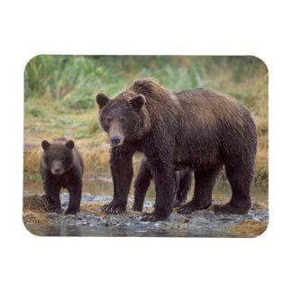 ours brun, arctos d'Ursus, ours gris, Ursus 3 Magnets En Rectangle