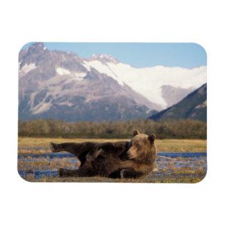 Ours de Brown, ours gris s'étirant sur son dos Magnet Souple