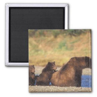 Ours de Brown, ours gris, truie avec des petits an Magnet Carré