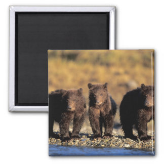 Ours gris, ours brun, petits animaux, ressortissan magnet carré